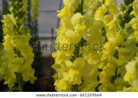Antirrhinum Matthiola Incana Yellow Stock Flower Stock Photo Edit