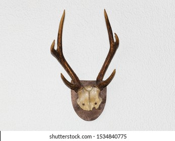 An antler of a deer as a hunting trophy on a wooden plate on a white wall. Origin of a German forest.