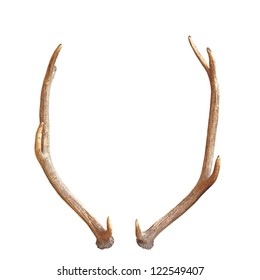 antlers from a young red deer, a trophy for future, isolated over white background