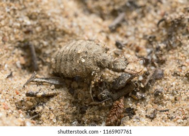 Antlion larva on sand