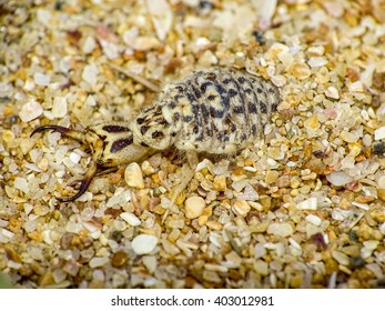 Ant-lion resting on surface of sand