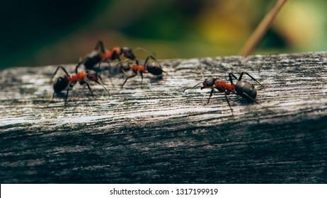Ants, Ameland wadden island Holland