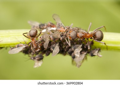 Ants with aphids