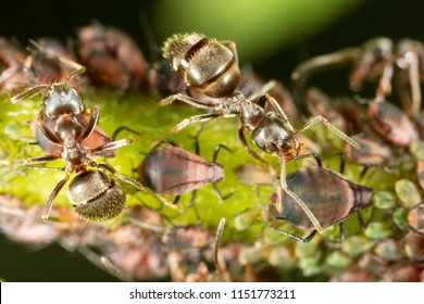 Ants and aphids on the plant. Macro