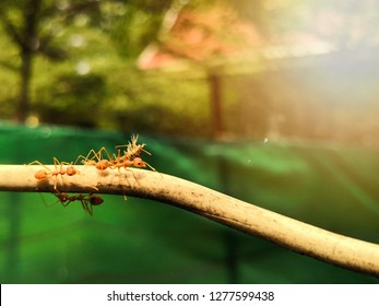 Ants carrying aphid or plant louse on the cable.Ant action carrying.Ant unity team,Concept team work together.
