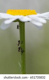 ants climbing stem of flower