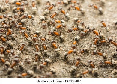 Ants Colony Looking For Food
