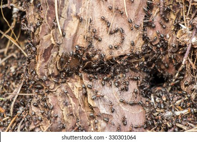 Ants colony in the rotten tree in forest