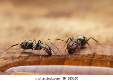Ants eating some water on table