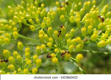 Ants feeding on nectar of bright yellow and green array of flowers of Wild Parsnip (Pastinaca sativa) an invasive species