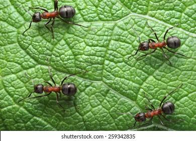 ants formica rufa on go