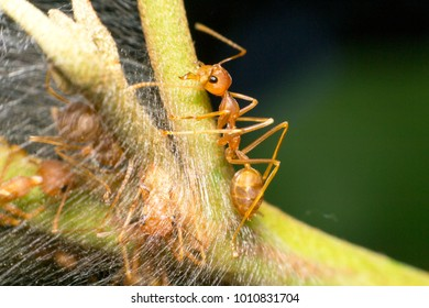 Ants are hanging on green leaves.Insects in formicidae Hymenoptera, The caste is divided into the function of the ants. Serves food Build and repair the nest,