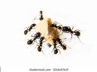 Ants at the kitchen. Black ants on a white background. Messor structor eats chicken