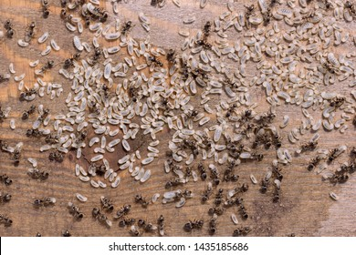 Ants larvae on a wooden surface. Eggs of ants on flat wood close up. Black small ants save their embryos. Reproduction of insects.