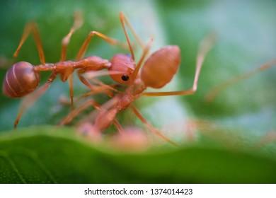 Ants macro on green leaves