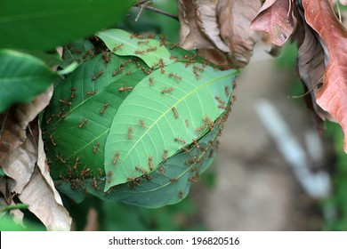 Ants' nest made by joining together green leaves of a tree