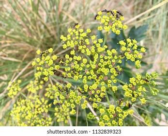 Ants on flowers, Seaton Carew Sand Dunes, Hartlepool, England