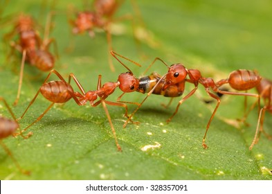 Ants, Red Ants.