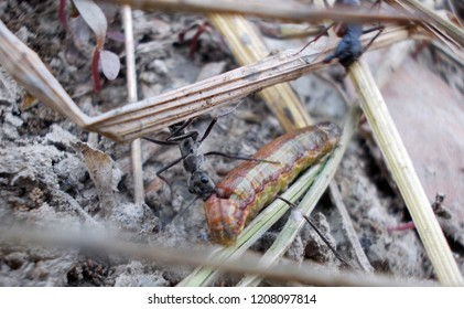 ants trying to brig food to their hone, fighting of ant for food, ant and maggot fighting, ants food