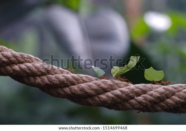 ants-working-together-pick-leaf-600w-151