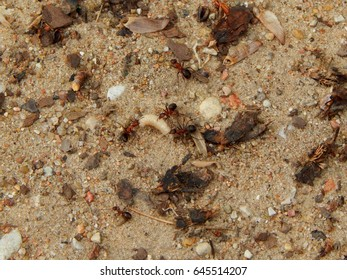 Ants and a worm