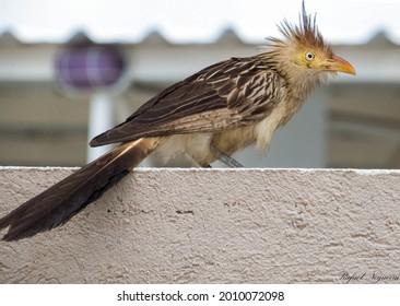 Anu branco - Guira guira - Guira Cuckoo