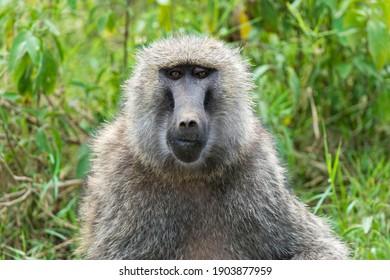 Anubis or olive baboon (Papio anubis), portrait, Lake Nakuru National Park, Kenya