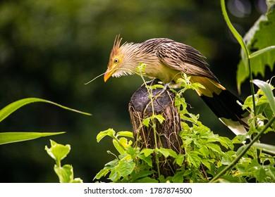 Anu-branco bird, or Guira Cuckoo, or GuiraGuira, on a wooden stake at João Pessoa, capital of Paraíba, Brazil.