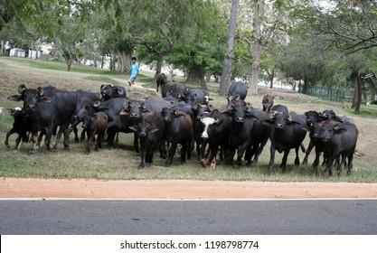 Anuradhapura, Sri Lanka, April 5, 2018 A herd of buffaloes waits to  cross the road