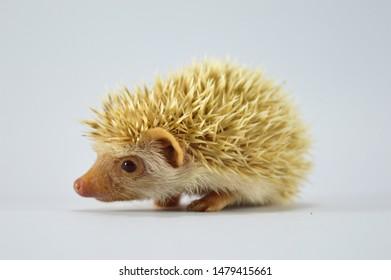 ็Hedgehog is any of the spiny nammals of the subfamily Erinaceincae. This baby hedgehog was breed in thailand, this color is Cinnamon.