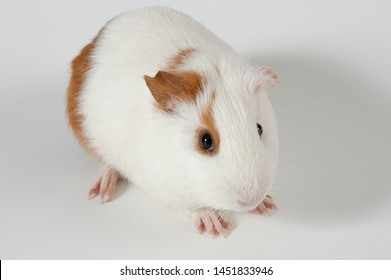 any of various poses and angles of guinea pigs