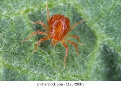 Anystidae sp. predatory mite on a mallow leaf.