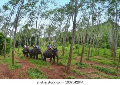 Ao Nang, Krabi province, Thailand - October 19th, 2013. Elephant trekking among rubber trees.