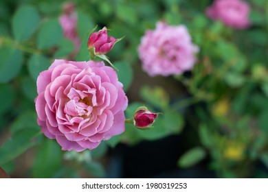 Aoi rose blooming in the garden. Aoi rose is a very beautiful pastel rose from Japan - Shutterstock ID 1980319253