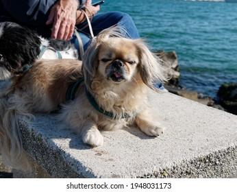 Aold  Pekingese dog looks to the side and barks.