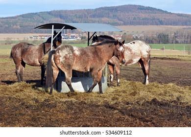 Apaaloosa horse - Shutterstock ID 534609112