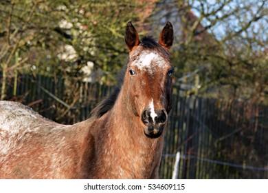 Apaaloosa horse - Shutterstock ID 534609115