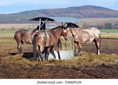 Apaaloosa horse - Shutterstock ID 534609136
