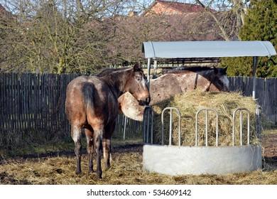 Apaaloosa horse - Shutterstock ID 534609142
