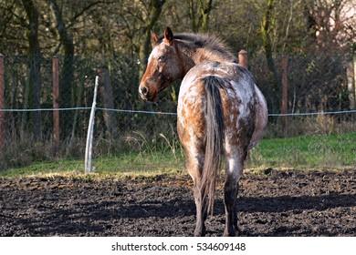 Apaaloosa horse - Shutterstock ID 534609148