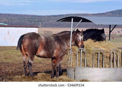 Apaaloosa horse - Shutterstock ID 534609154