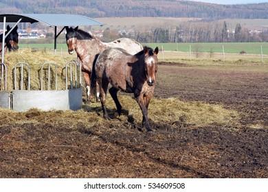 Apaaloosa horse - Shutterstock ID 534609508