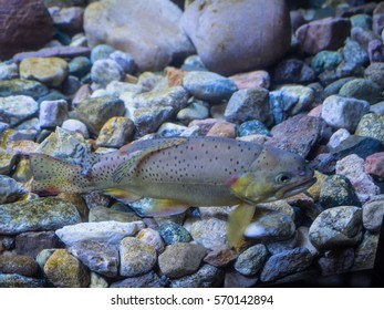 Apache trout (Oncorhynchus apache) is a species of freshwater fish in the salmon family (family Salmonidae) of order Salmoniformes. It is one of the Pacific trouts.