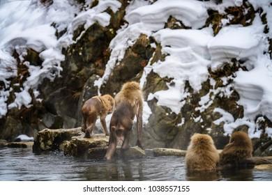 apanese monkey enjoys and outdoor bath