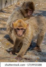 Ape taking flees off ape friend