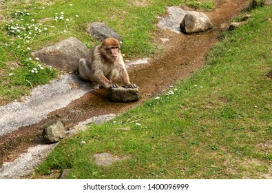 Apeldoorn, Netherlands - April 25th 2019 : Barbary macaque