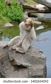 APELDOORN, NL - JULY 11, 2018: Barbary Macaque sitting on a rock in Apenheul Primate Park