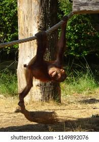 Apenheul Apeldoorn Orang-oetan (Borneo) (Pongo pygmaeus)