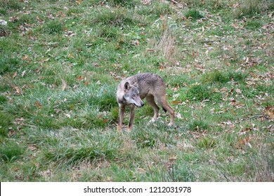 Apennine wolf observing the prey, (Canis lupus italicus)