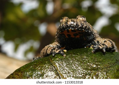 Apennine yellow-bellied toad